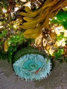 A sea-anemone with kelp and seaweed. Health benefits from the bottom of the sea.